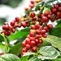 Красные плоды кофейного дерева арабика