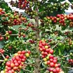 Плоды кофейного дерева Робуста