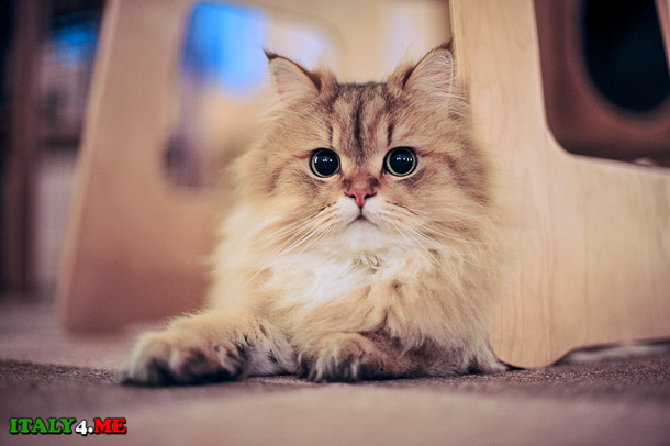 кошка кафе Турин