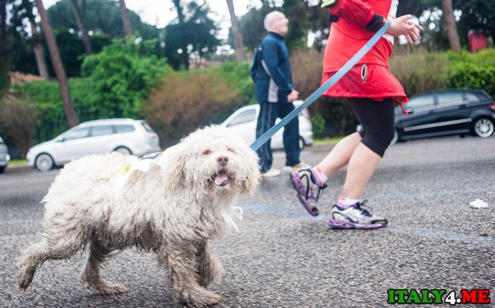марафон в Риме с собакой