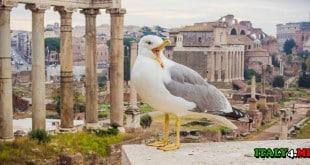 Чайка в Риме
