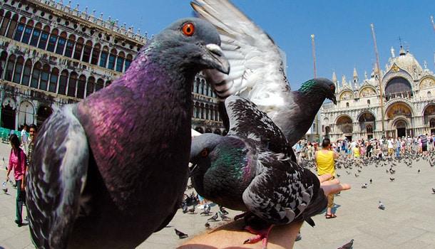 голуби Венеция