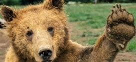 медведи в Италии
