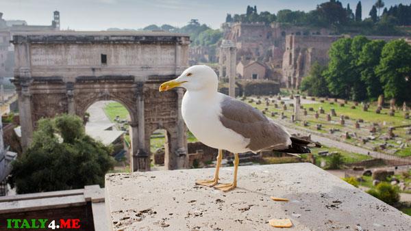 Римский Форум чайка
