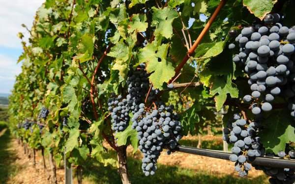 Виноградник Санджовезе в Тоскане