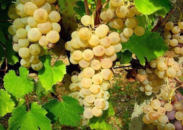 Вина Сардинии - Виноградники
