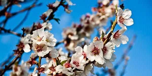 Фестиваль цветущего миндаля в Агридженто