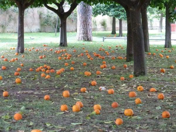 Апельсиновый сад - урожай