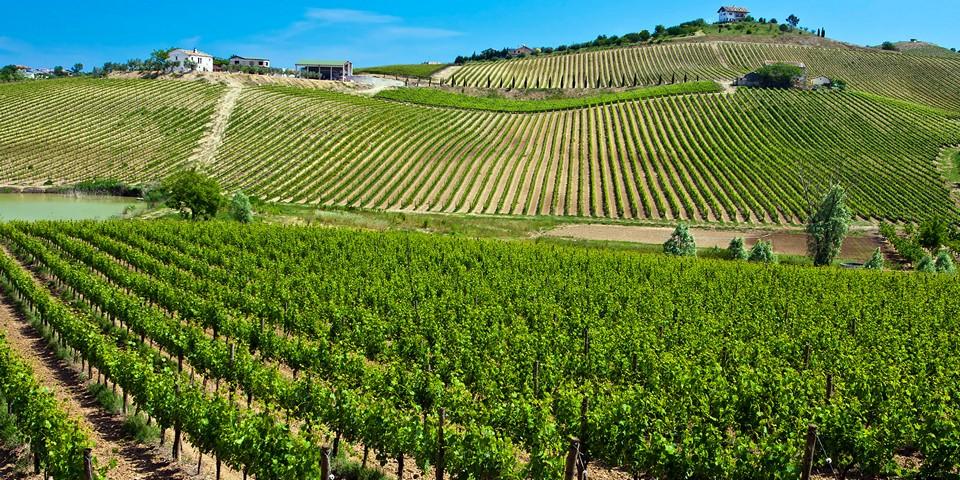 Виноградники расположены на холмах или плато