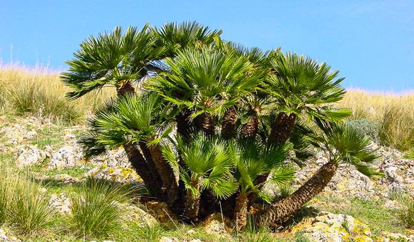 карликовые пальмы в заповеднике Zingaro на Сицилии