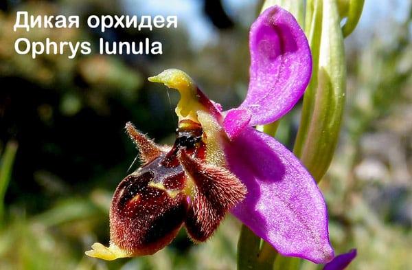 Дикая Орхидея в заповеднике Зингаро, Сицилия