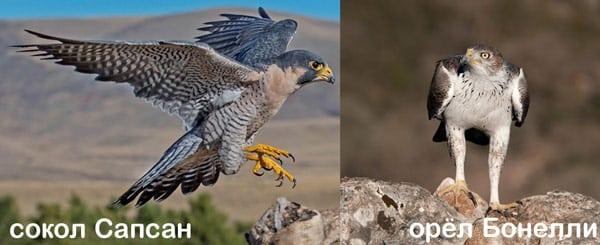 Сапсан (Falco peregrinus) и орёл Бонелли (Hieraaetus fasciatus) в заповеднике Зингаро