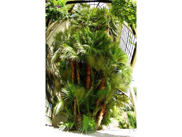 Ладонь Гёте Средиземноморская пальма (Chamaerops humilisl) в ботаническом саду Падуи